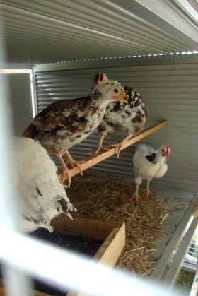 Keeping Chickens | Urban Homesteading | Growing Home