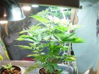 Cheap Indoor Marijuana Grow Room Setup