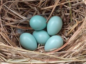 5 eggs in a nest