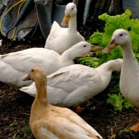 10 Reasons to Keep Ducks on the Homestead