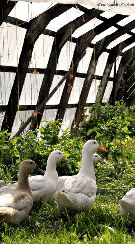 10 Reasons we have come to enjoy keeping ducks on the homestead. | www.growingwildroots.com