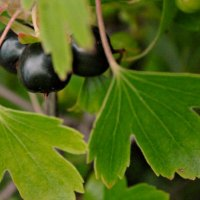 7 Ways to Use Blackcurrants