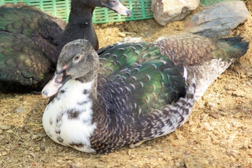 5 Reasons Muscovy Ducks May Not Be Right for You.