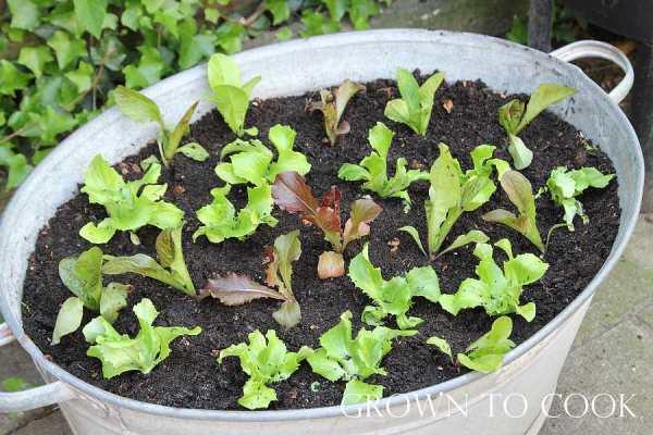 lettuce in a tub