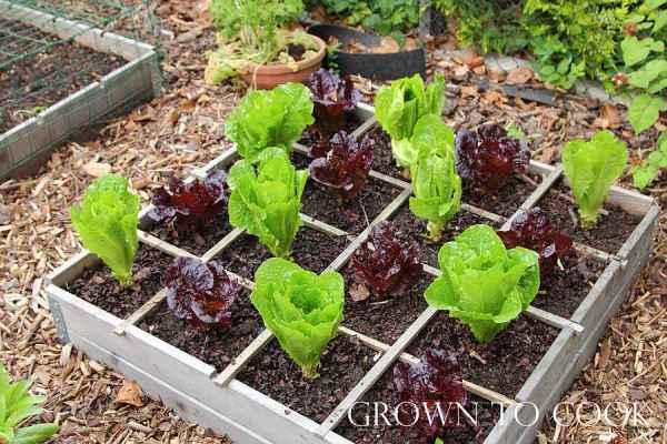 lettuce in a square bed