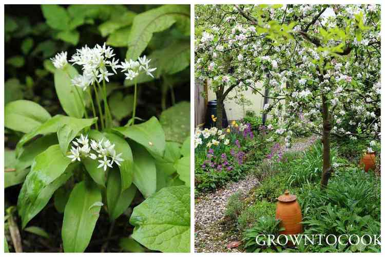 wild garlic in the edible forest garden