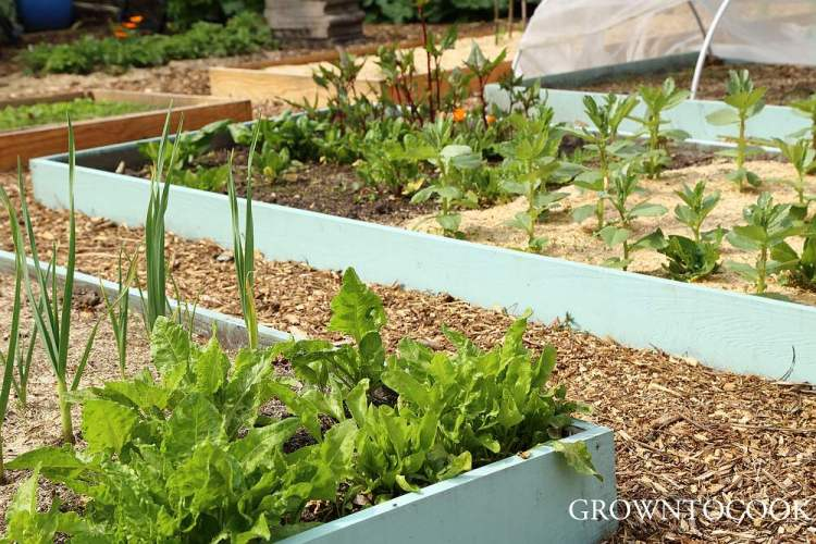 overwintered chard and spinach