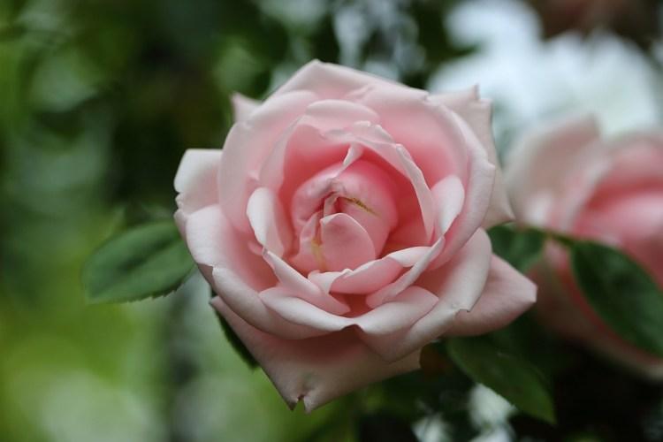 "rose ""New Dawn"""