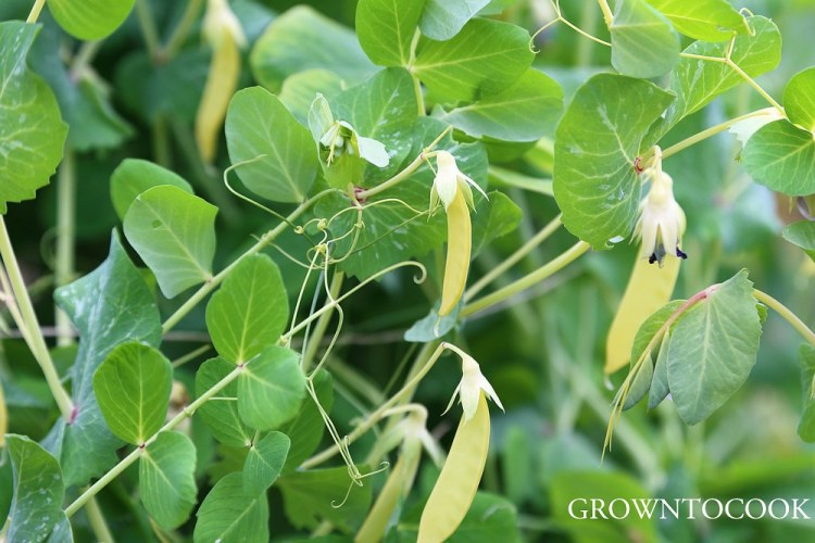 "yellow podded snow pea ""Golden Sweet"""