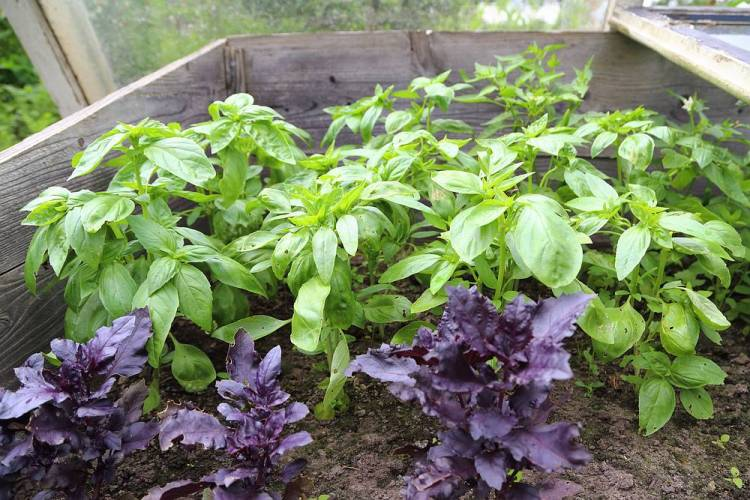 basil in cold frame