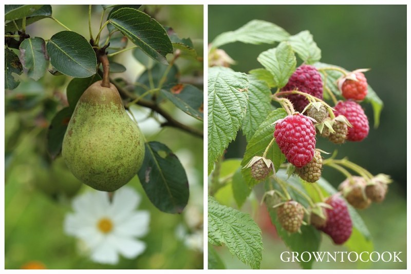 pear william and fall raspberries
