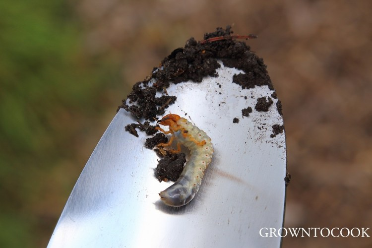 May bug larva