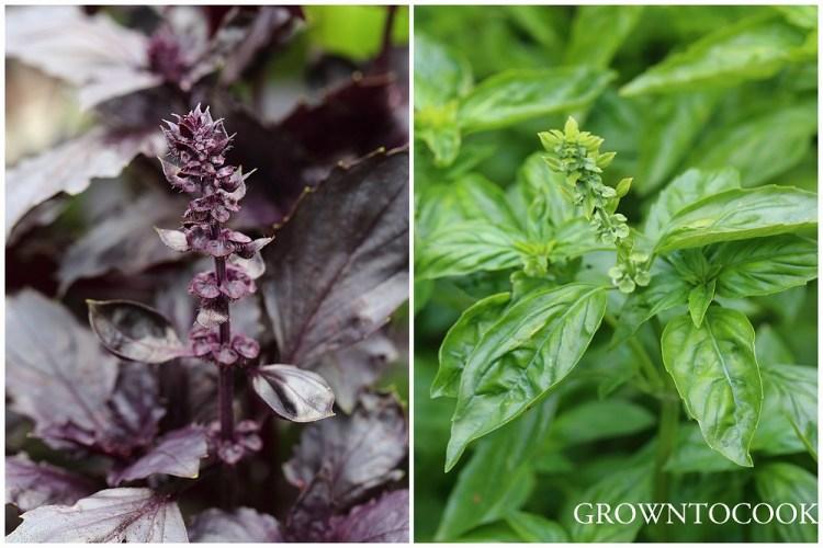 purple and green genovese basil