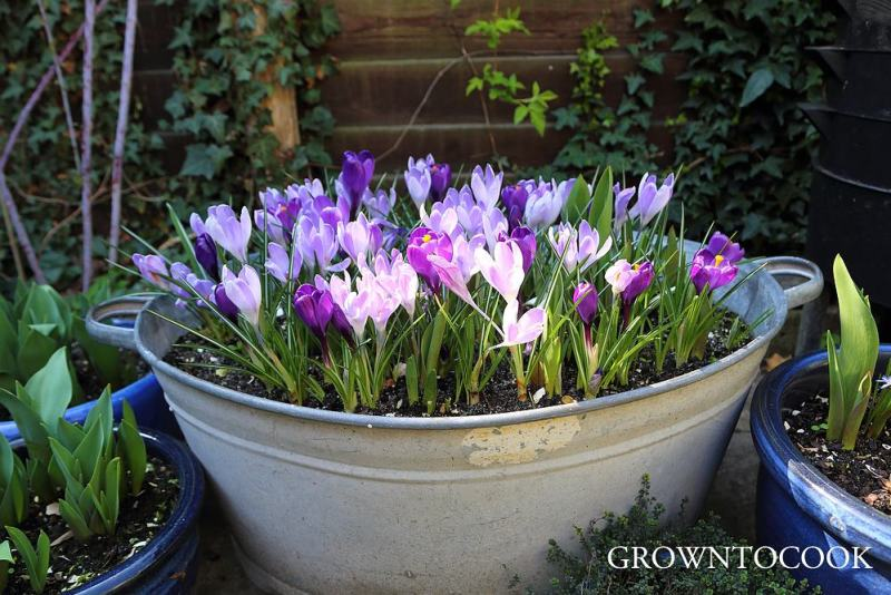 "crocus ""Vanguard"" and ""Flower Record"""
