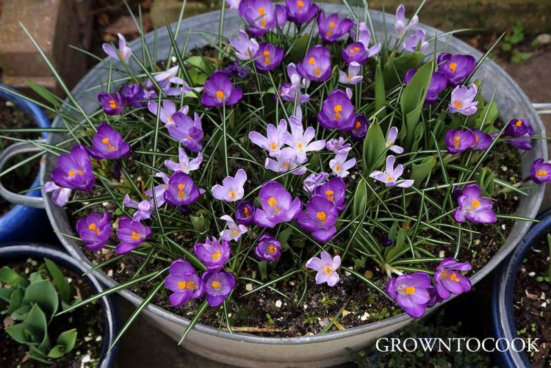 crocuses in container