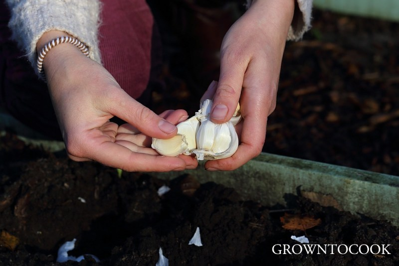 "planting garlic ""Thermidrome"""