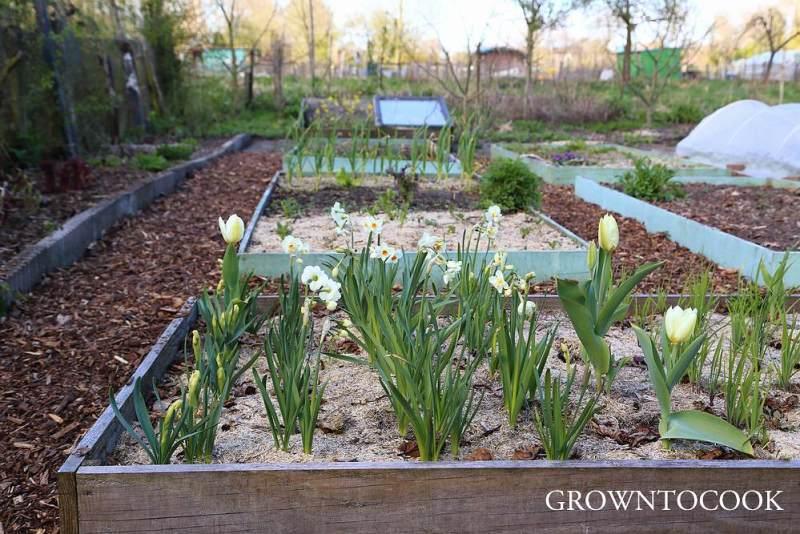 spring bulbs in the kitchen garden