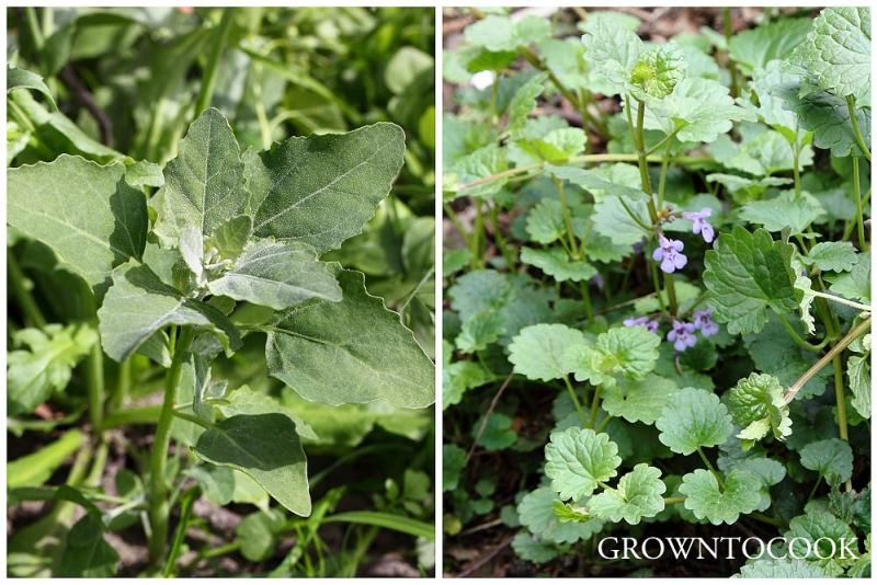fat hen and ground ivy