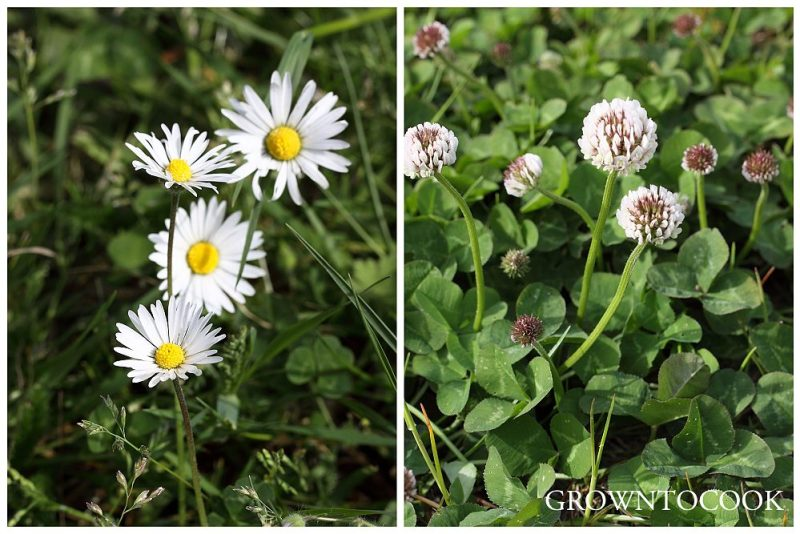 common daisy and white clover