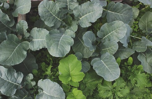 These crops: broccoli, mustard greens, arugula, and mizuna, all fall within the brassica family.
