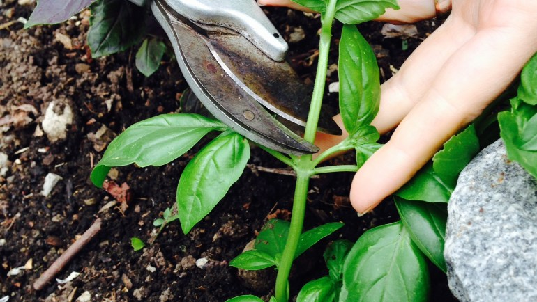How to Care for Your Basil