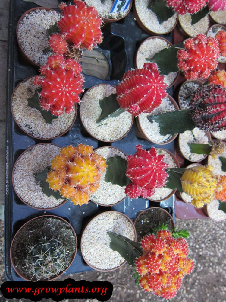 Moon Cactus How To Grow Care