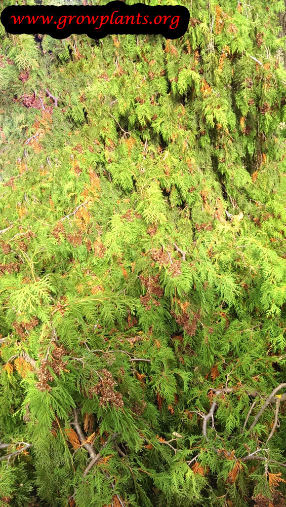 Thuja occidentalis  How to grow  care
