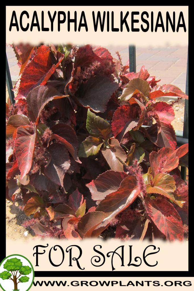Acalypha wilkesiana for sale