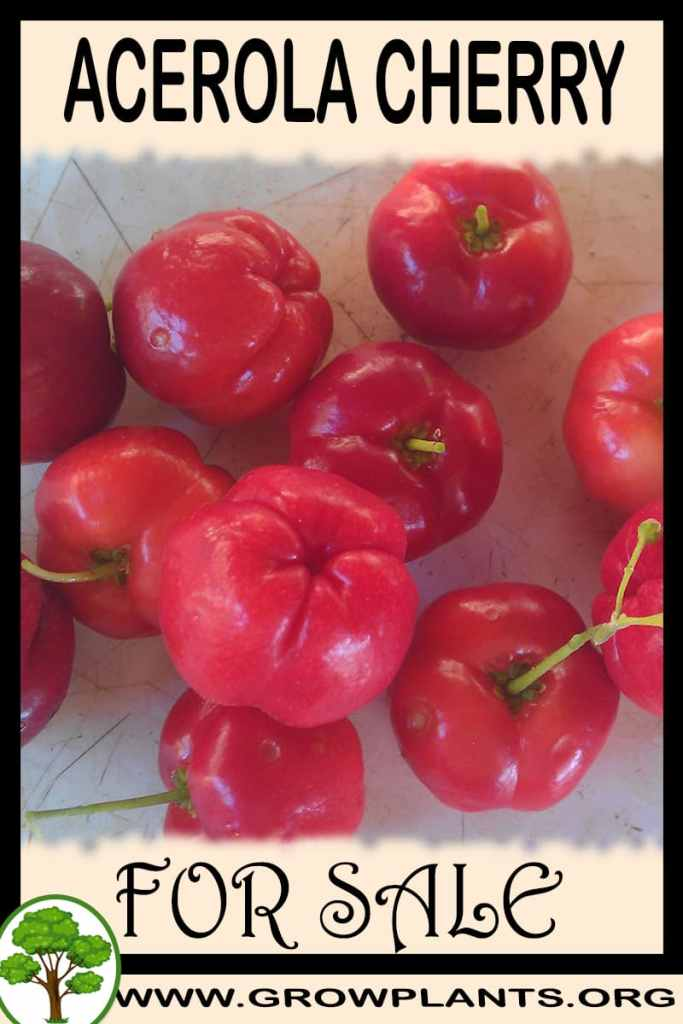 Acerola cherry plant for sale