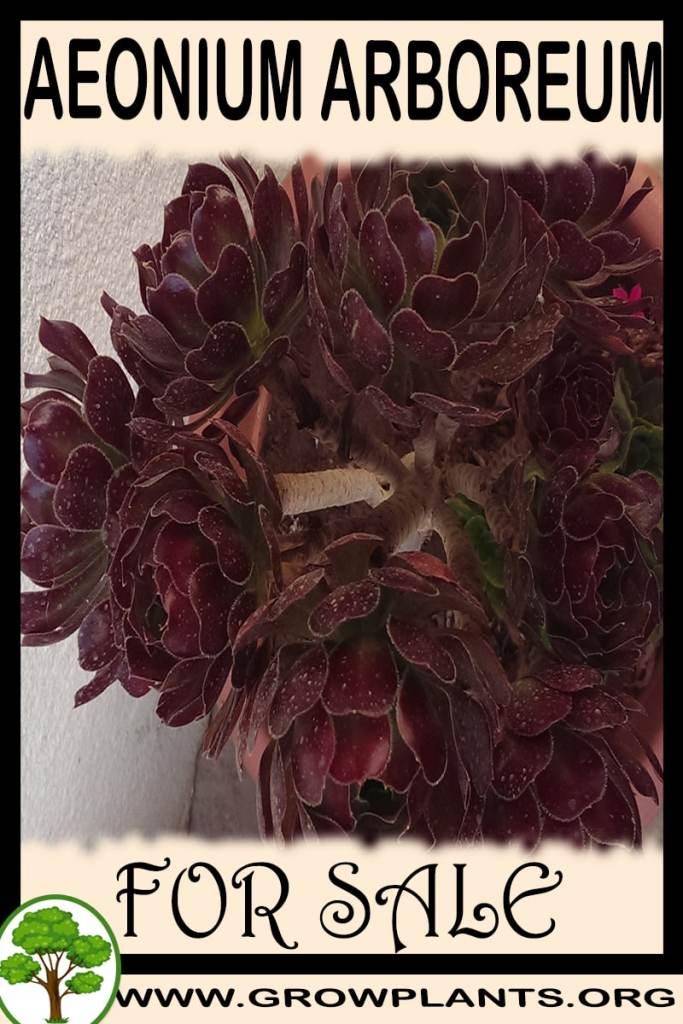 Aeonium arboreum for sale