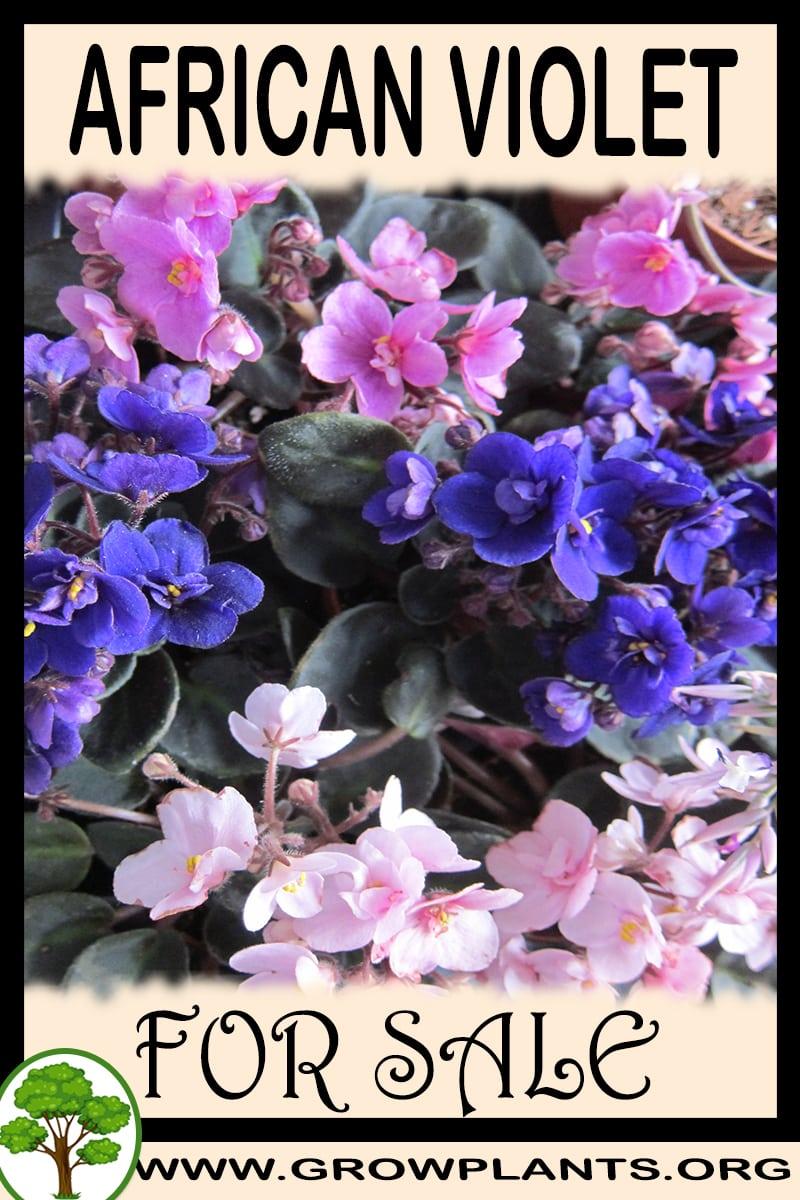 African violet for sale