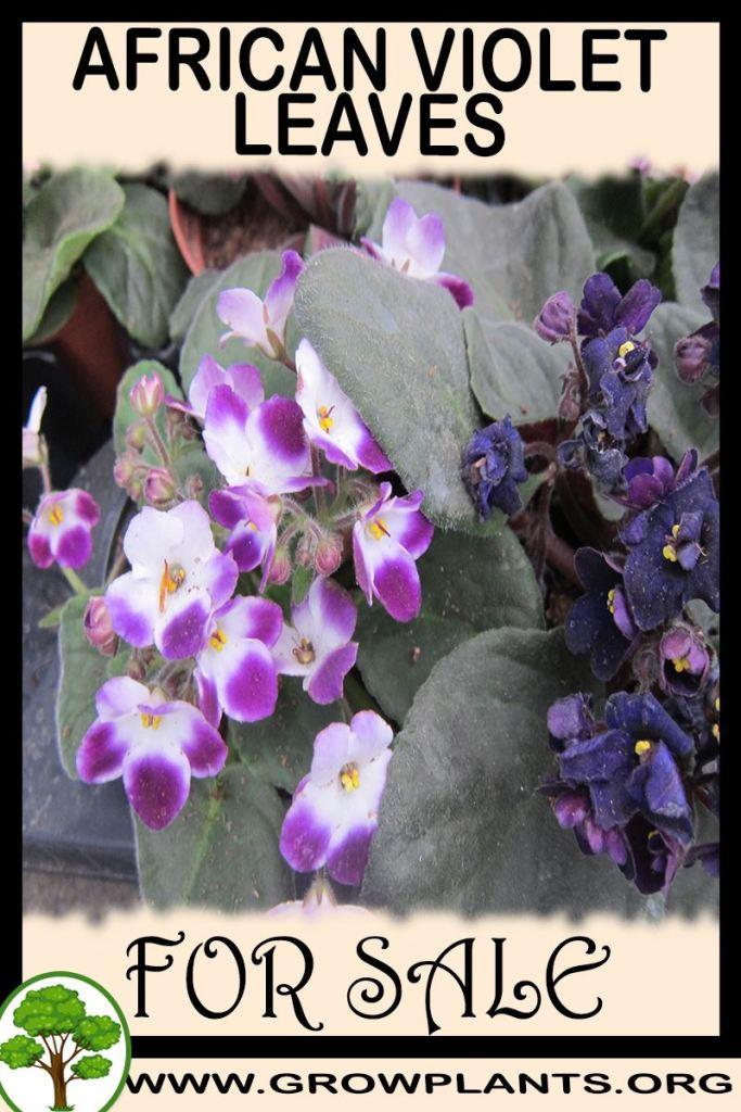African violet leaves for sale