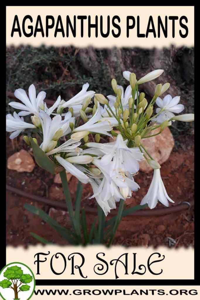 Agapanthus plants for sale