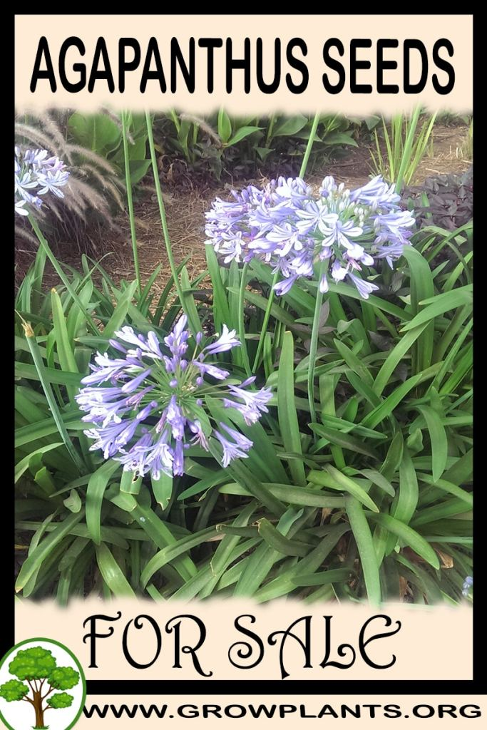 Agapanthus seeds for sale