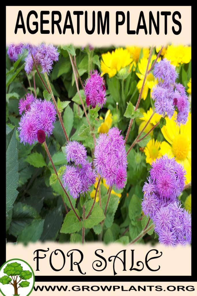 Ageratum plants for sale