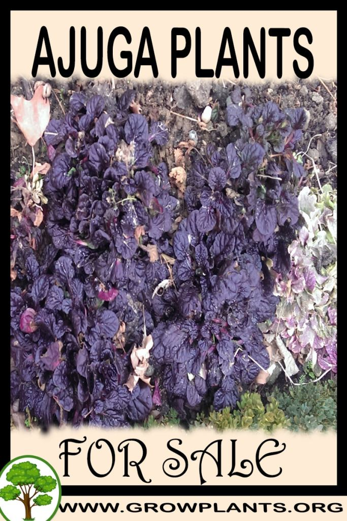Ajuga plants for sale