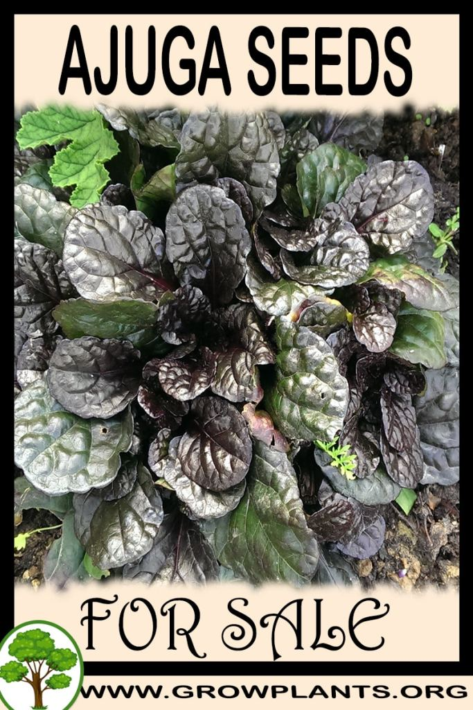 Ajuga seeds for sale