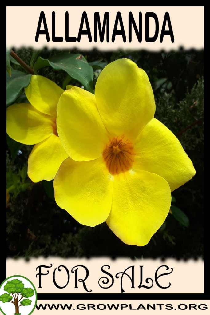 Allamanda for sale