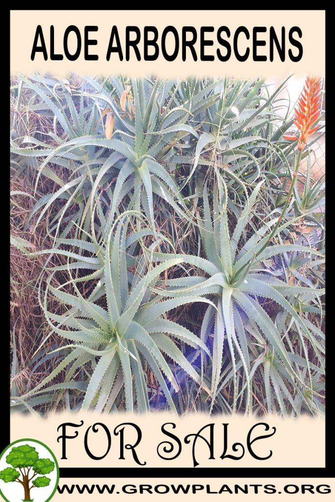 Aloe arborescens plant for sale