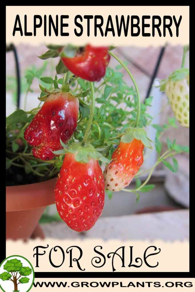 Alpine strawberry plants for sale