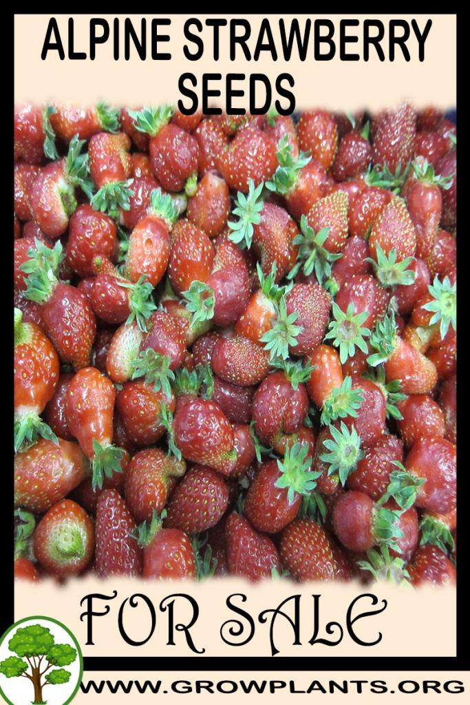 Alpine strawberry seeds for sale