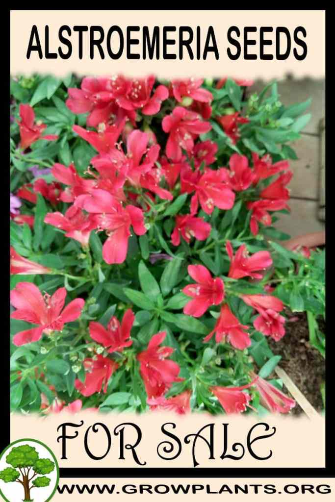 Alstroemeria seeds for sale