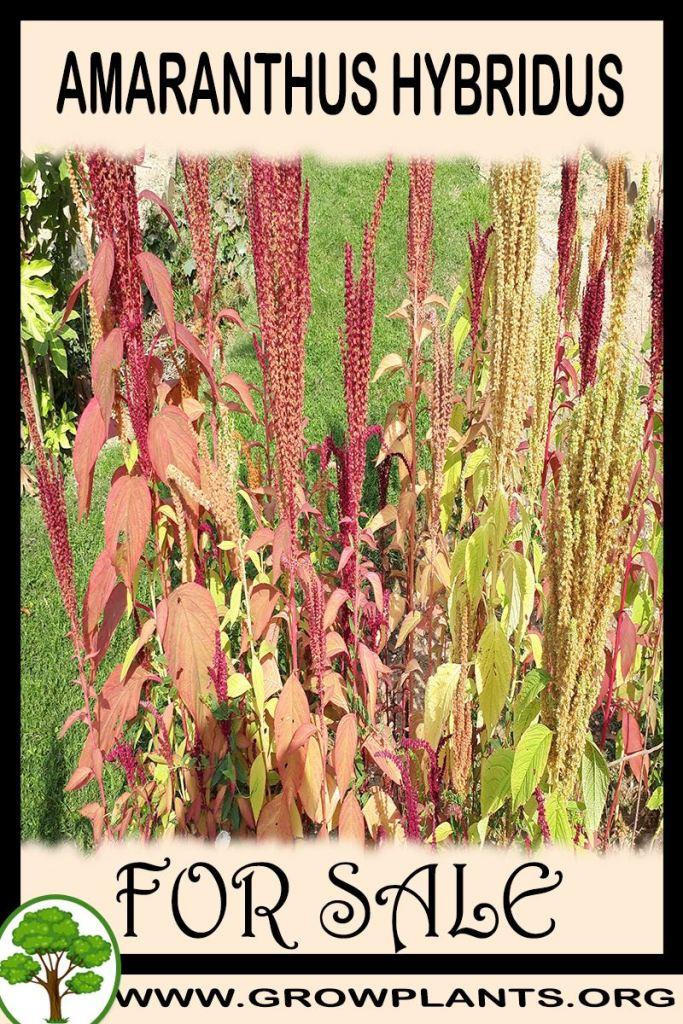 Amaranthus hybridus for sale