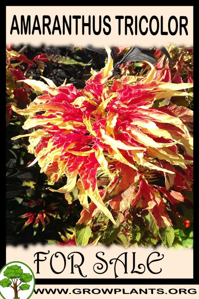 Amaranthus tricolor for sale