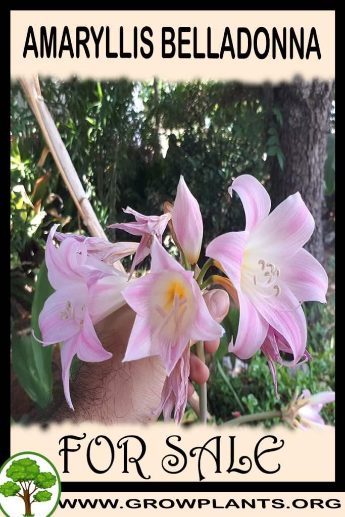 Amaryllis belladonna for sale