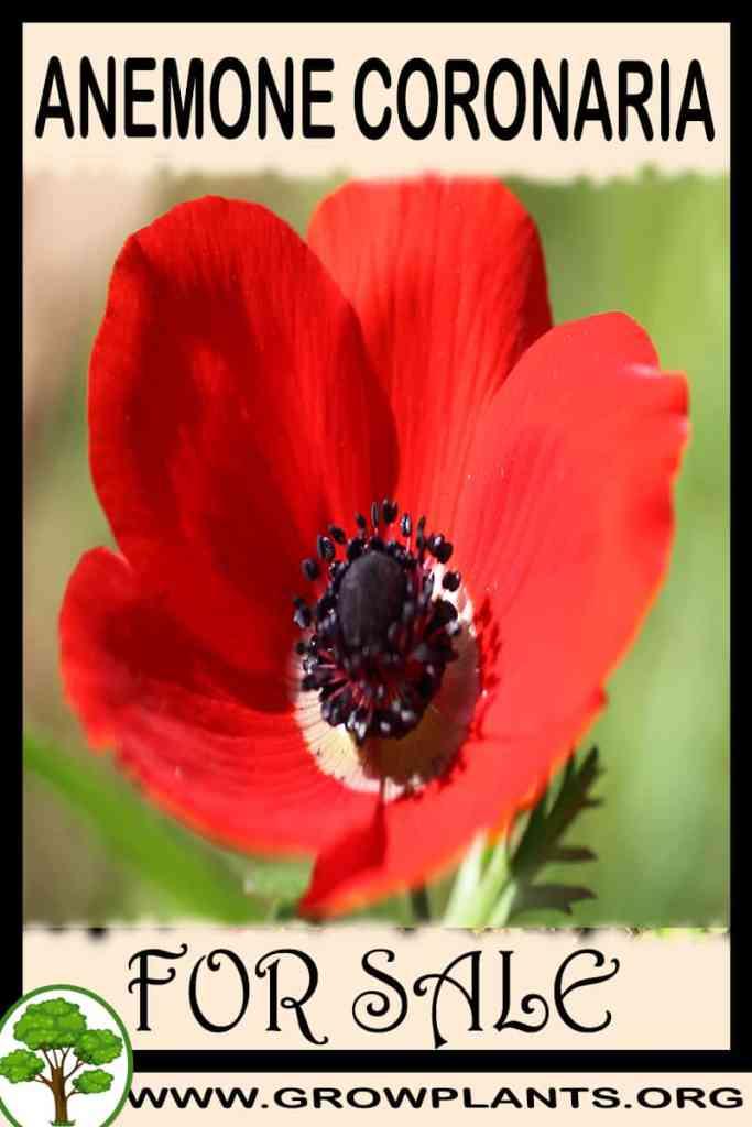 Anemone coronaria for sale