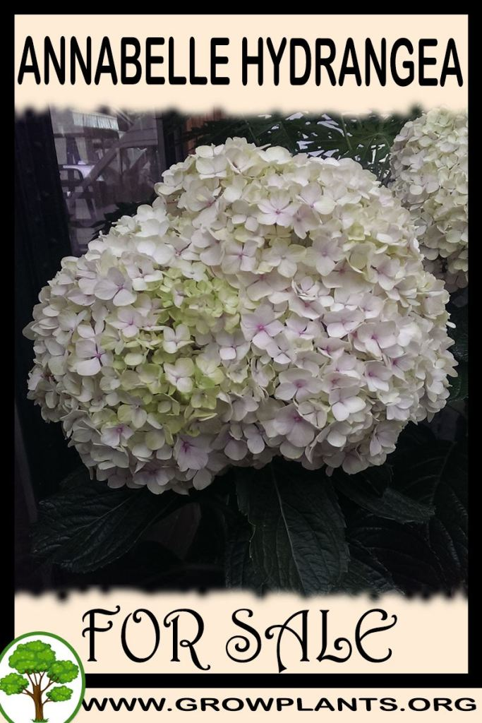 Annabelle hydrangea for sale