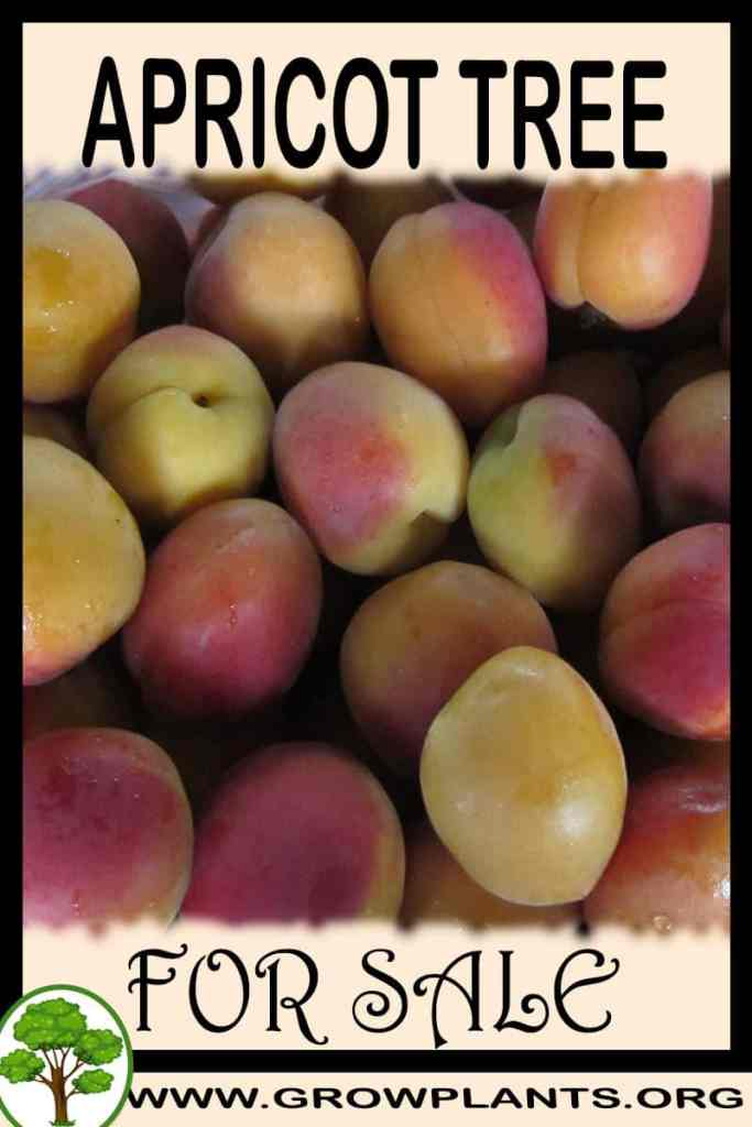 Apricot tree for sale