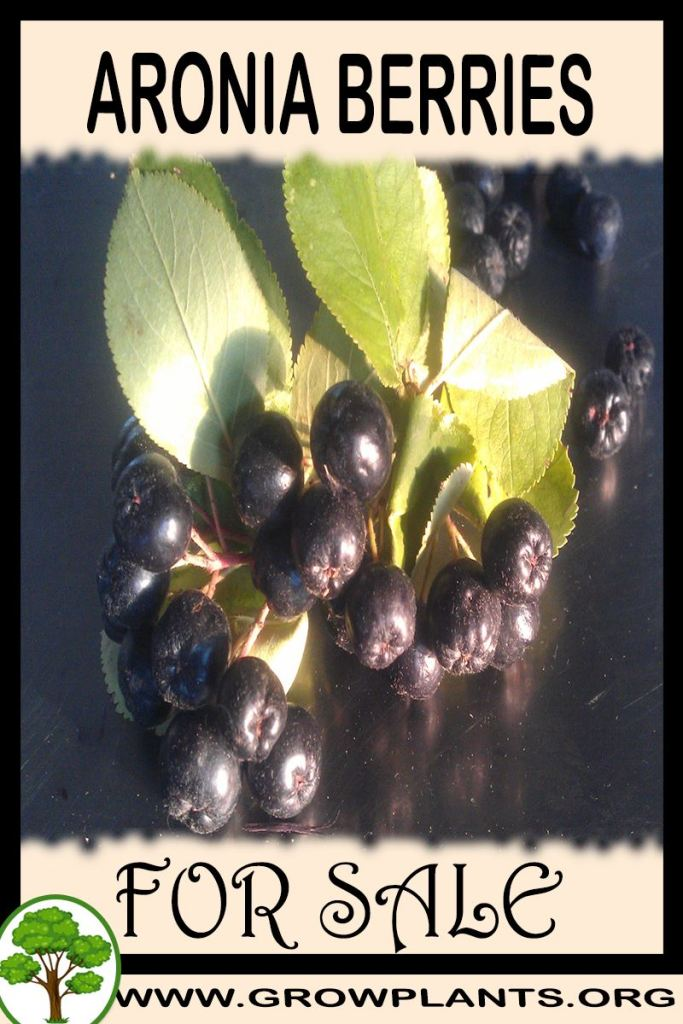 Aronia berries for sale