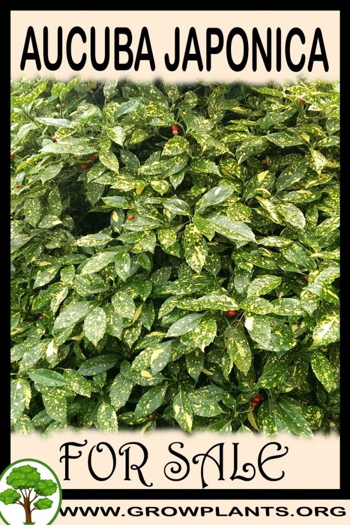 Aucuba japonica for sale